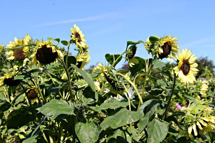 midsummersunflowers